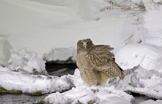 Blakiston's Fish-Owl Sam Woods.jpg