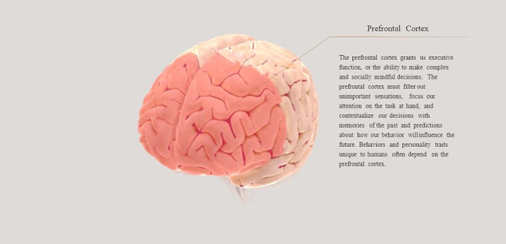 For a fun interactive way to see all areas of the brain, visit Brainfacts.org.
