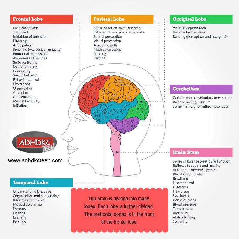 Brain lobes serve different functions.  Learn more at www.adhdkcteen.com. #adhd #adhdkcteen #development