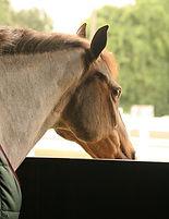 Horse strangles