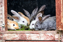 Neutering for rabbits