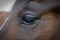 Horse sarcoids