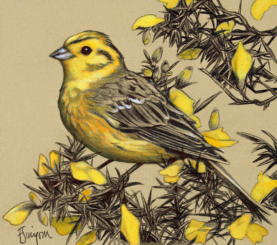 Yellowhammer on a Gorse Bush