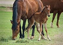 Horse fertility