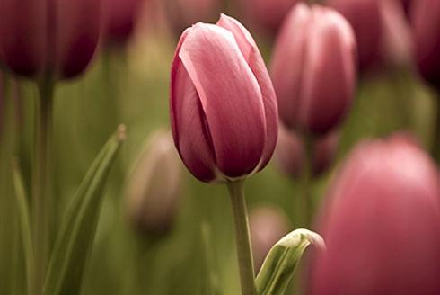 tulip background.jpg