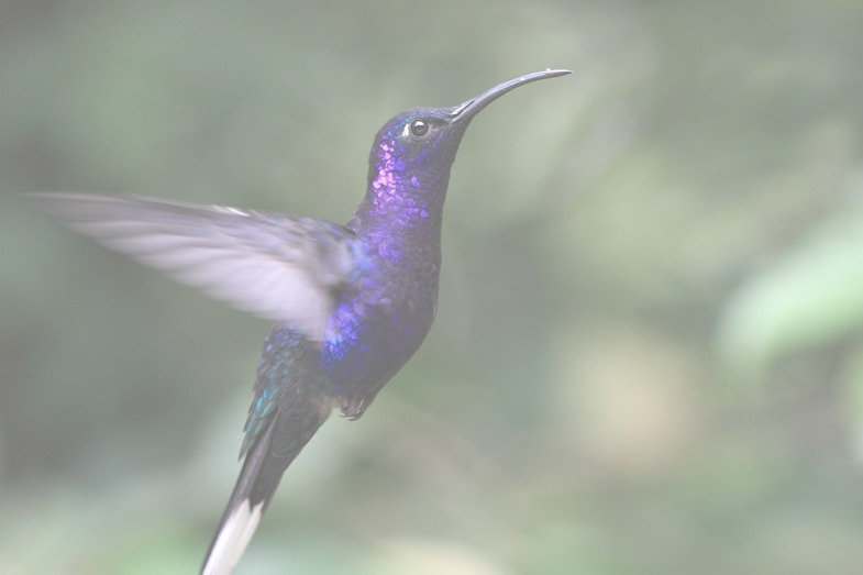 Blue%20Hummingbird_edited.jpg