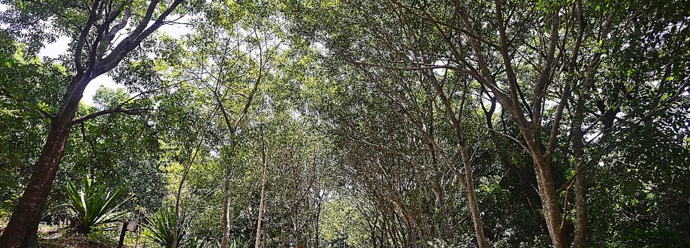 CanopyOfTrees