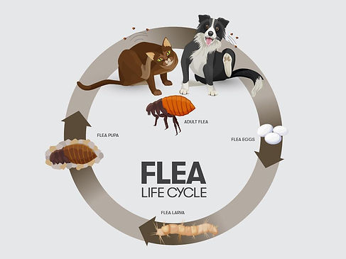 FleaLifecycle_Illustration_1024x1024.jpg