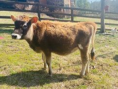 Clover - Crimson heifer 2020.jpg