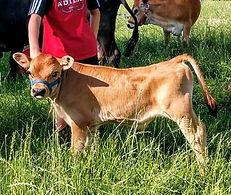 2020 Cocoa bull calf Tommy (2).jpg