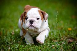 Bulldog-puppy-cute-grass-3910x2597