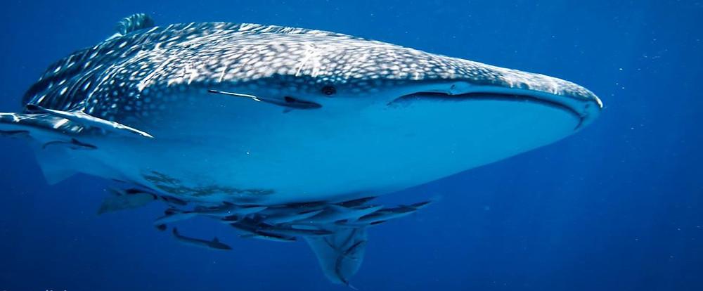 Китовая на Рача Яй