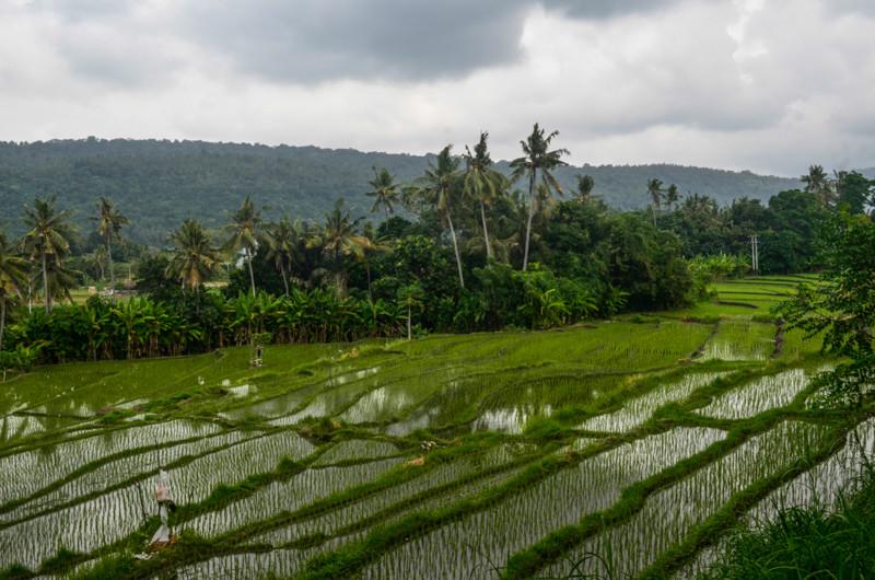 rice_indonesia