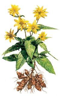 topinambur slunečnice