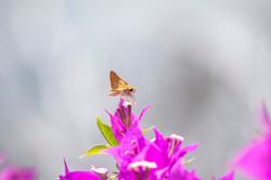 Grass Skipper Butterfly