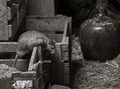 A brown rat at Adliswil Wildnispark in Zurich, Switzerland by Robin Cox.