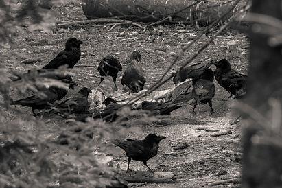 A murder of crows feeding on a carcass at Adliswil Wildnispark in Zurich, Switzerland by Robin Cox.