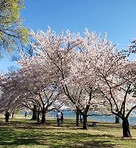 cherry blossoms nature_c.jpg