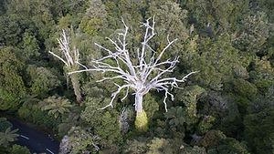 dead-kauri-trees-1920.jpg
