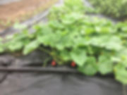 9 Sprawing Cucumbers.jpg
