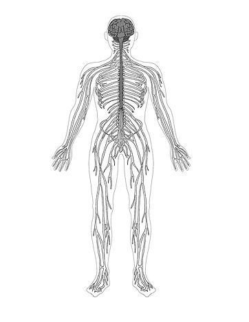 Figure-2.9-Central-and-peripheral-nervous-system.jpg