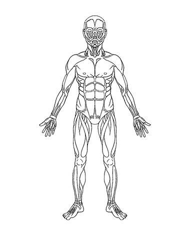 Figure 2.1-2. Full body muscles.jpg
