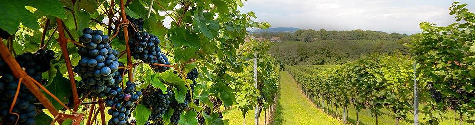 vinicola-608509464_edited.jpg