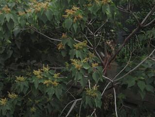 下穂積大正川法面の樹木伐採