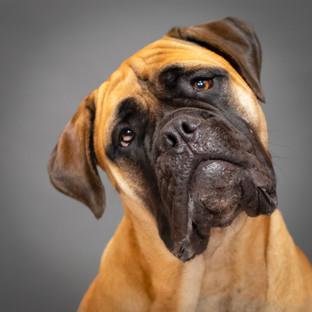 Portland Pet Photographer Mastiff Session