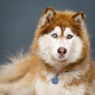 Portland Pet Photographer Husky