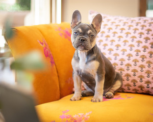 Portland Pet Photographer Baby Frenchie