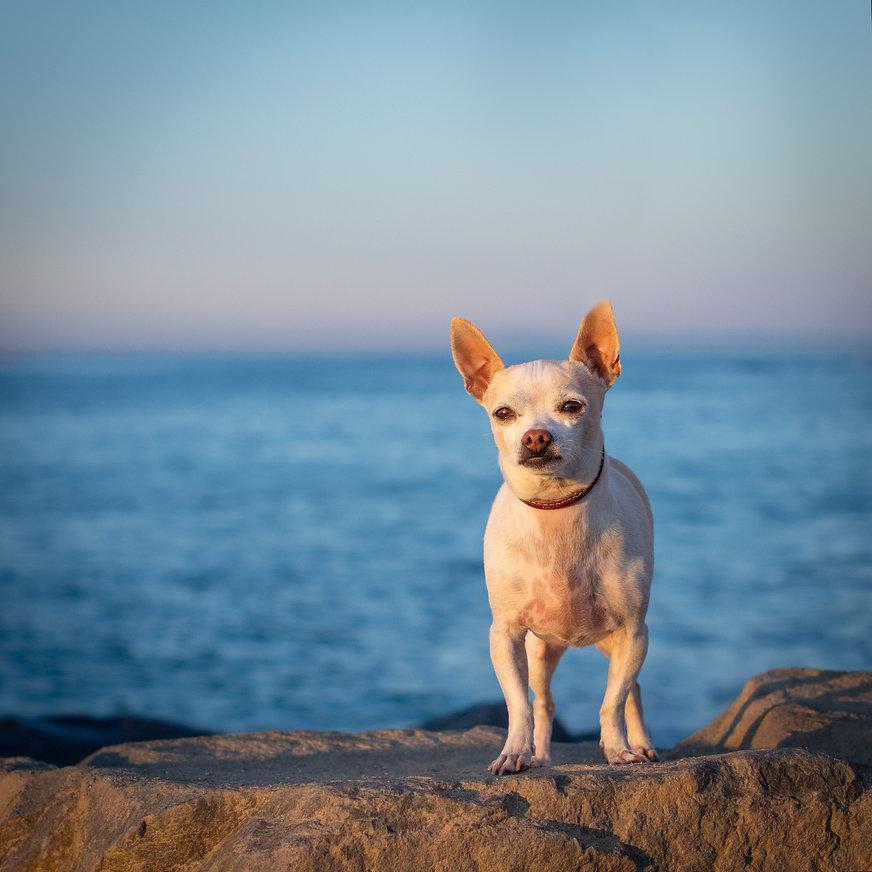 chihuahua-dana-point-photoshoot.jpeg