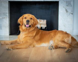Portland Pet Photographer Golden Retriever