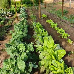Salad in the vegetable garden