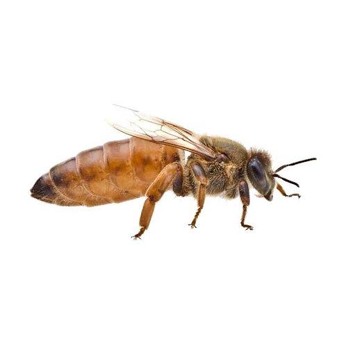Matki pszczele Buckfast Imperial NU