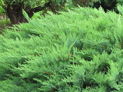 Jałowiec Sabiński Mas (Juniperus Sabina Mas)