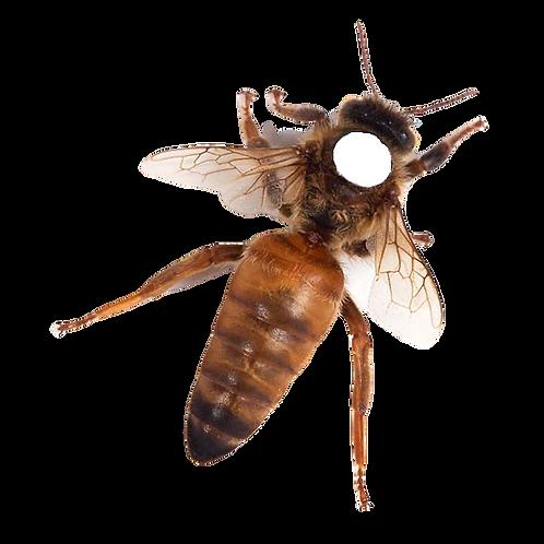 Matki pszczele Buckfast Imperial unasienione naturalnie, sprawdzone czerwienie
