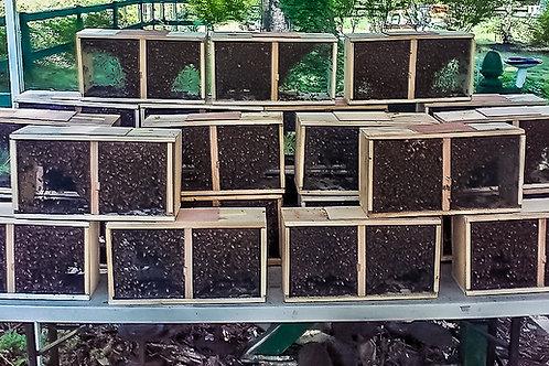 Pakiet pszczeli 1kg pszczoły