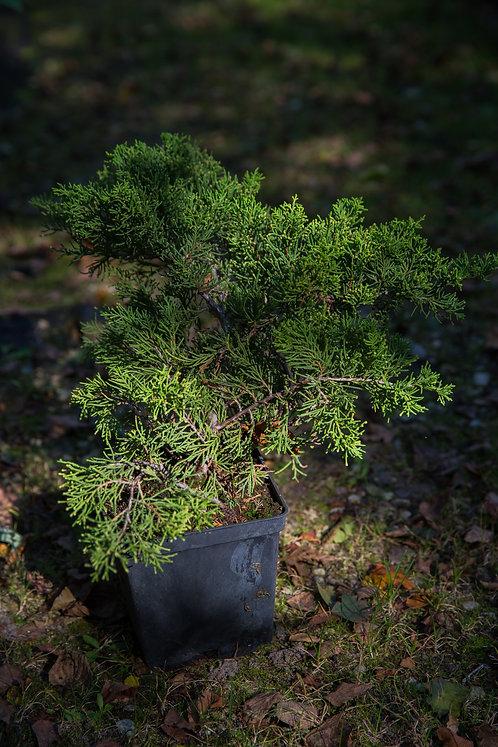 Jałowiec Chiński Old Gold (Juniperus Chinensis Old Gold)