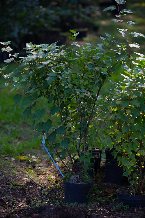 Pęcherznica Żółtolistna (Physocarpus Luteus)