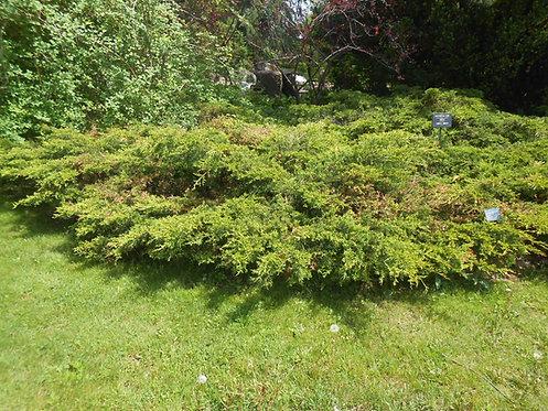 Jałowiec Chiński Pfitzeriana Aurea (Juniperus Chinensis Pfitzeriana Aurea)