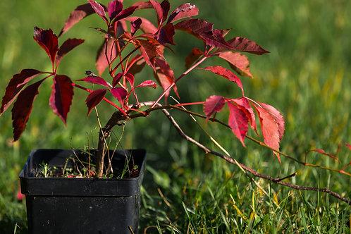 Winobluszcz Pięciolistkowy Murorum (Parthenocissus Quinquefolia Mororum)