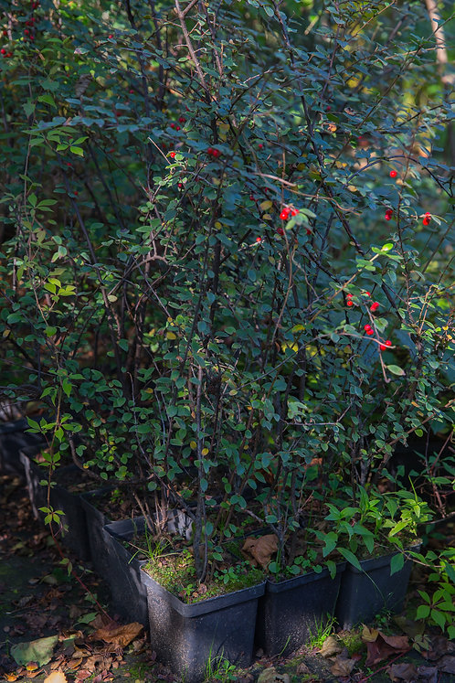 Irga Rozkrzewiona (Cotoneaster Divaricatus)