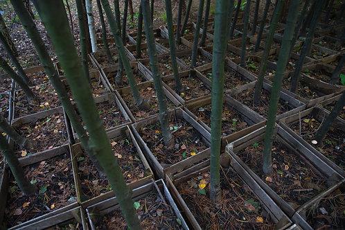 Lipa Szerokolistna (Tilia Platyphyllos)