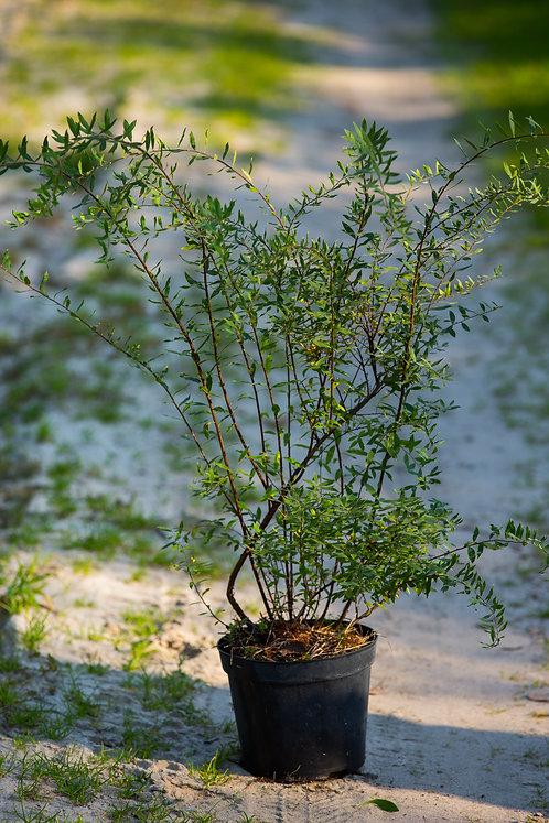 Tawuła Wczesna (Spiraea Arguta),