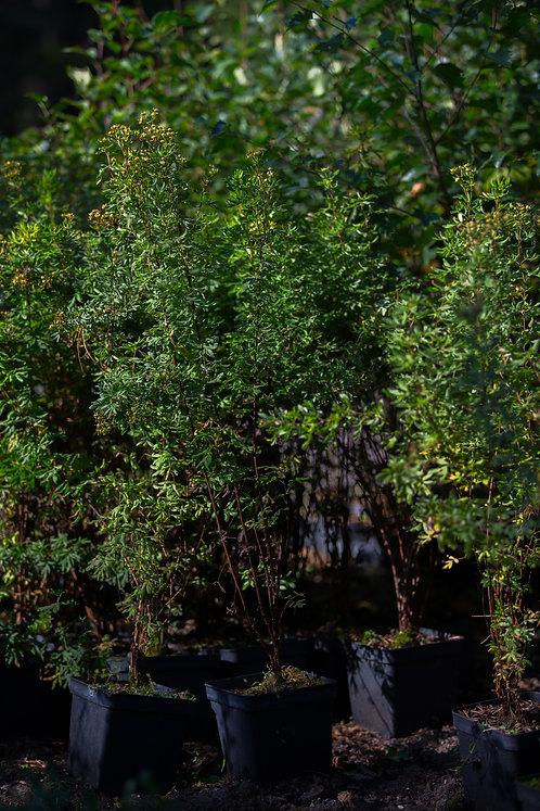 Pięciornik Krzewiasty Goldfinger (Potentilla Fruticosa Goldfinger)