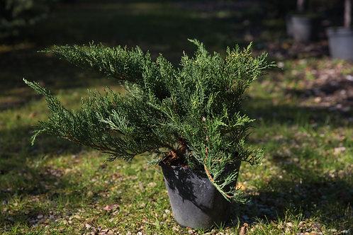 Jałowiec Sabiński Tamariscifolia (Juniperus Sabina Tamariscifolia)