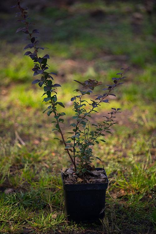 Berberys Thunberga odm. Czerwonolistna (Berberis Thunbergii Atropurpurea)
