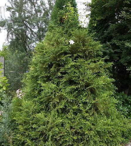 Żywotnikowiec Japoński (Thujopsis Dolabrata)