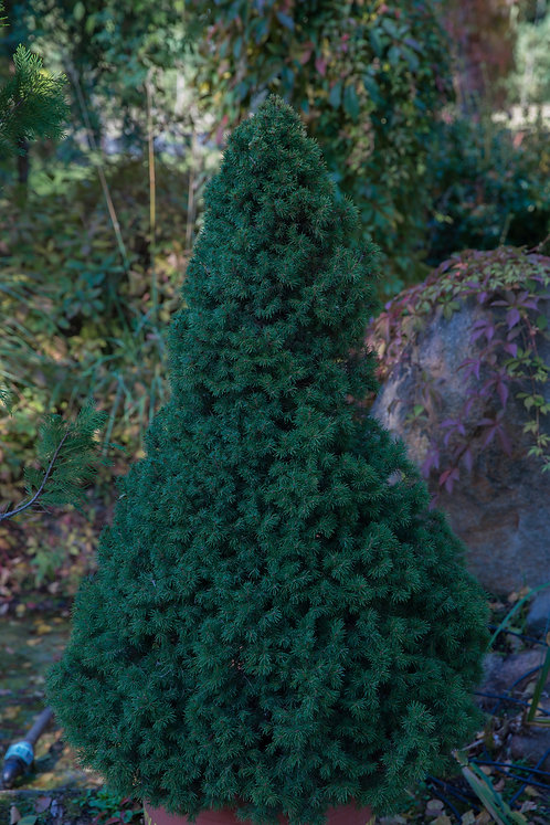 Świerk Biały Conica (Picea Glauca Conica)
